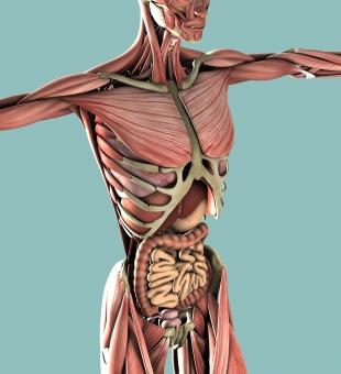 筋肉と内臓の関係 富士吉田市 整体 自然体